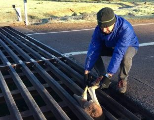 Kangaroo saved from a cattle grid