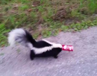 A skunk with head stuck in a can